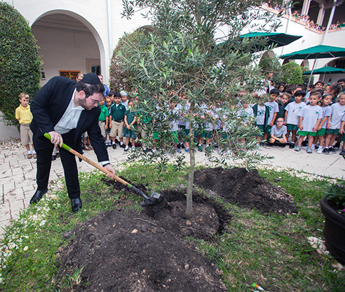 Talmudic University rabbinical school students takes a turn at planting the olive tree, Nov. 15 at St. Patrick School.