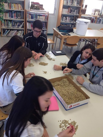 McCarthy students identify and sort through Caf� Cocano coffee beans.